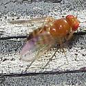 Drunk fly - maybe Drosophila - Drosophila
