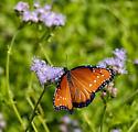Queen Butterfly  - Danaus gilippus - Danaus gilippus - female