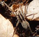 Spider - Gladicosa gulosa - male