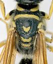 Thynnidae, thorax - Myzinum quinquecinctum - male
