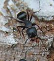 Carpenter Ant - Camponotus modoc - female