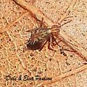 Ptenothrix beta