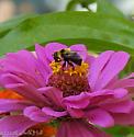 Sure fooled me...a Bumble Bee mimic... - Eristalis flavipes