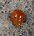 Lady Beetle on Kauai