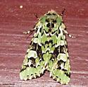 10008, Feralia comstocki, Comstock's Sallow Moth - Feralia comstocki