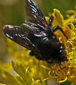 Xylocopa californica - male