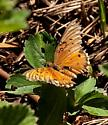 Butterfly id please?  - Agraulis vanillae