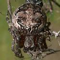 Furrow Spider - Larinioides patagiatus