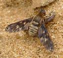 Bee Fly - Dipalta serpentina