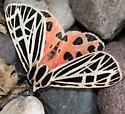 Virgin Tiger Moth - Hodges#8197 - Apantesis virgo