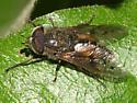 Horse Fly - Hybomitra lasiophthalma - male