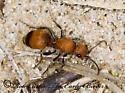 7015264 - Dasymutilla nigripes - female