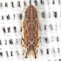 Erasmoneura Leafhopper - Erythroneura vulnerata