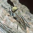 Tabanus species - Tabanus - male
