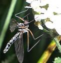 Long-legged hanger - Blepharicera