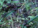 Still more lubber nymphs - Romalea microptera? - Romalea microptera