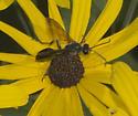 Wasp on Rudbeckia subtomentosa - Isodontia mexicana