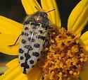 Buprestid - Acmaeodera maculifera