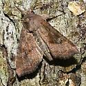 Pennsylvania Moth - Loscopia velata