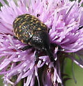 Beetle ID Request - Larinus planus