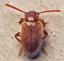 Beetle - Zonantes