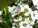 is this the Syrphid Allograpta? - Sphaerophoria