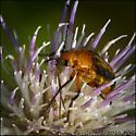 Soldier Beetle (family Cantharidae-I think) on Feld Thistle, Cirsium discolor, Savannah, Ga - Nemognatha piazata - female