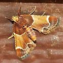 moth - unknown  - Pyralis farinalis