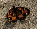Lepidoptera - Phyciodes batesii - male