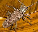 Flat-faced Longhorn Beetle - Monochamus notatus