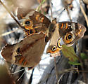 Common Buckeye? - Junonia coenia - male - female