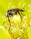 Beetles - Trichiotinus rufobrunneus