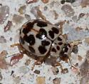 Twenty Spotted ? - Psyllobora vigintimaculata