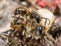 Hympenoptera - Osmia taurus - male - female