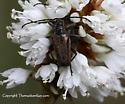 Longhorned Beetle - Gnathacmaeops pratensis