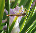 Giant Cranefly - unknown species - Tipula