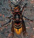 Hornet - Vespa crabro - female