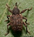 Weevil - Conotrachelus lucanus