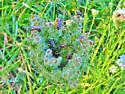 Id help needed - Sweat be Agapostemon splendens or Agapostemon virescens - Agapostemon virescens