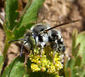 Black and white bee  - Anthidium