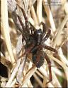 Spider - Pardosa
