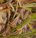 Brown mantid - Mantis religiosa - female