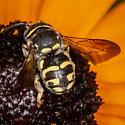 Anthidiellum notatum? - Anthidiellum notatum - male
