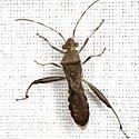 Bow-legged Texan - Hyalymenus tarsatus