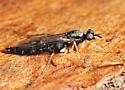 Xylophagus lugens? - Xylophagus cinctus - male