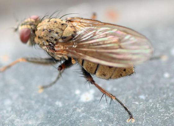 muscid fly - Coenosia tigrina - female