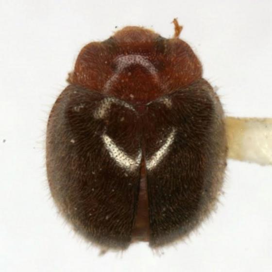 Rhyzobius lophanthae (Blaisdell) - Rhyzobius lophanthae