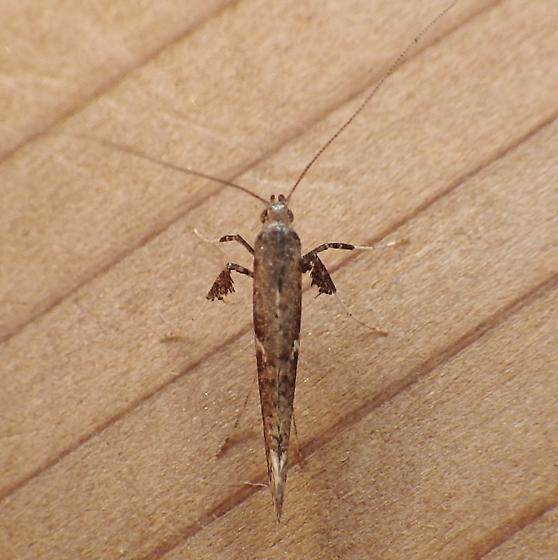 Gracillariidae: Caloptilia stigmatella? - Caloptilia