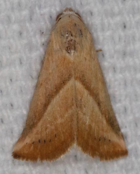 Eublemma recta - Hodges#9078 - Eublemma recta