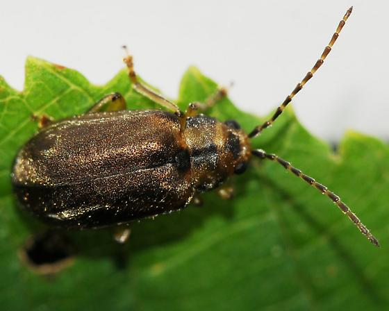 Leaf beetle - Pyrrhalta viburni
